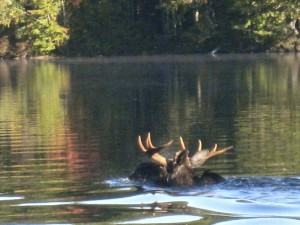 Moose swimming on Waukewan by Andrea Siani