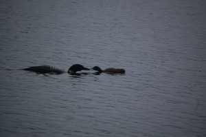 Waukewan Snake river adult loon and chick 7.28.13  by Anne Sayers